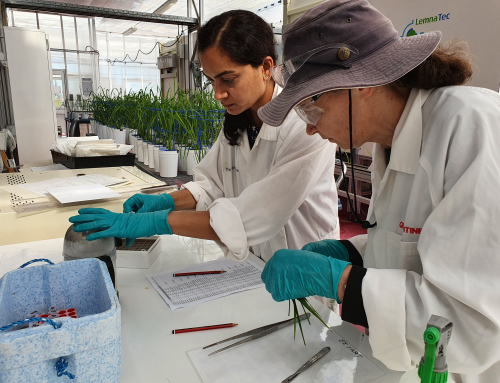 APPF is helping to understand salt tolerance in the world's most important food crop – rice